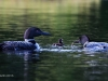 Loons 2015_0412