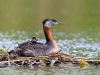 Red-necked Grebe 01