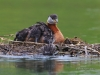 Red-necked Grebe 07