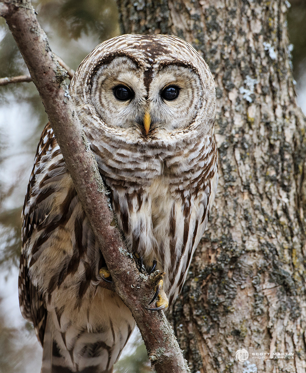 Barred Owl 30