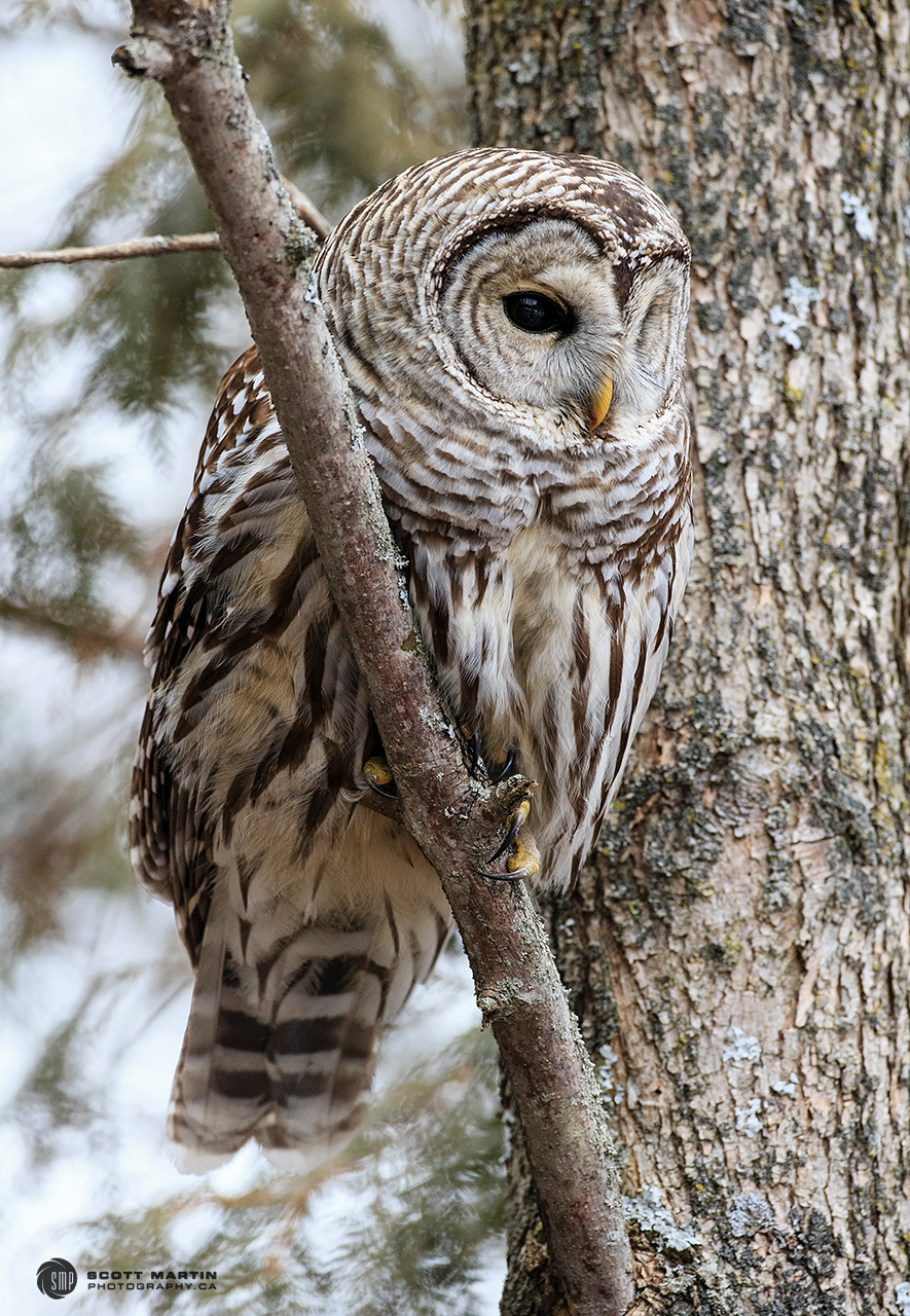 Barred Owl 31