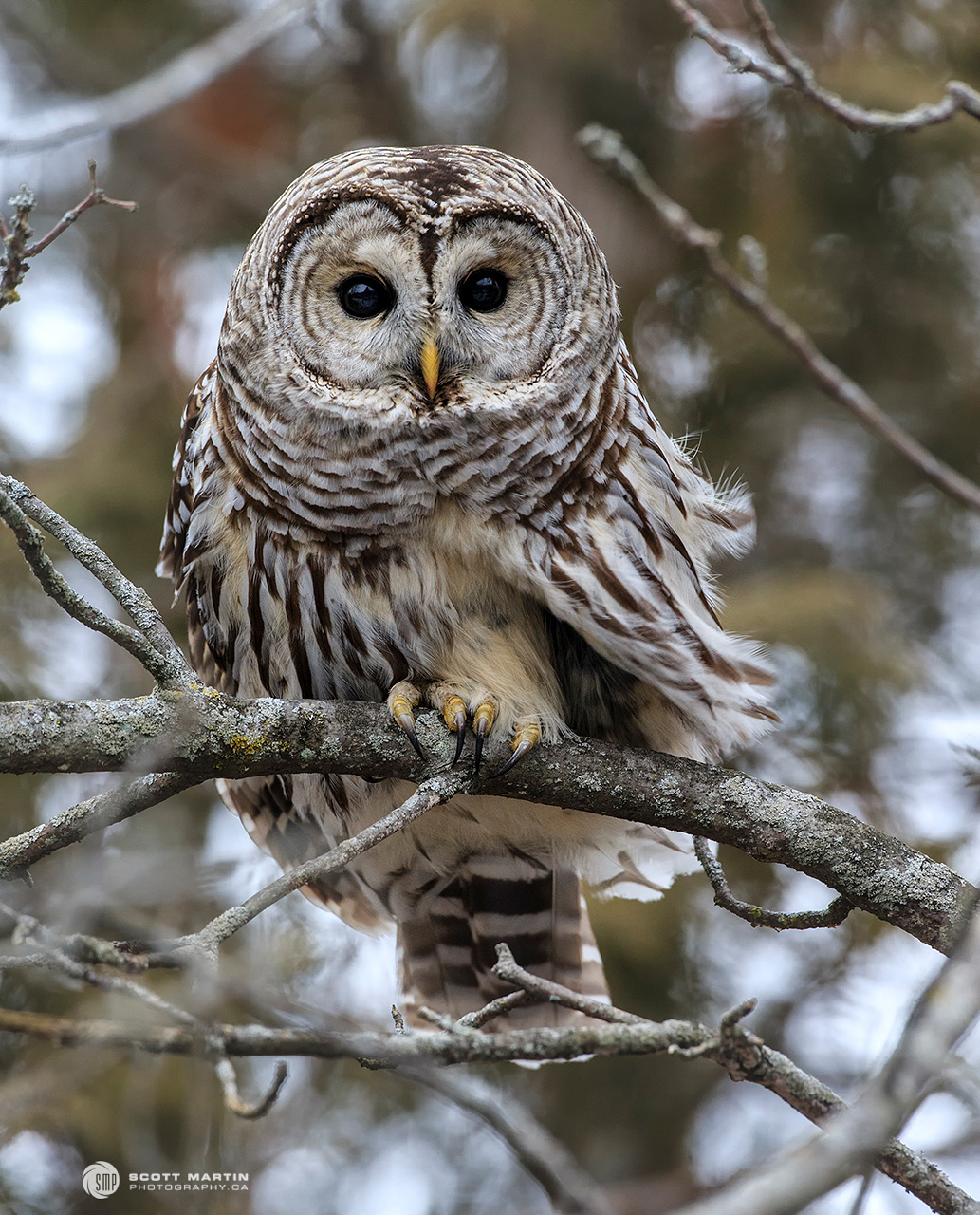 Barred Owl 24