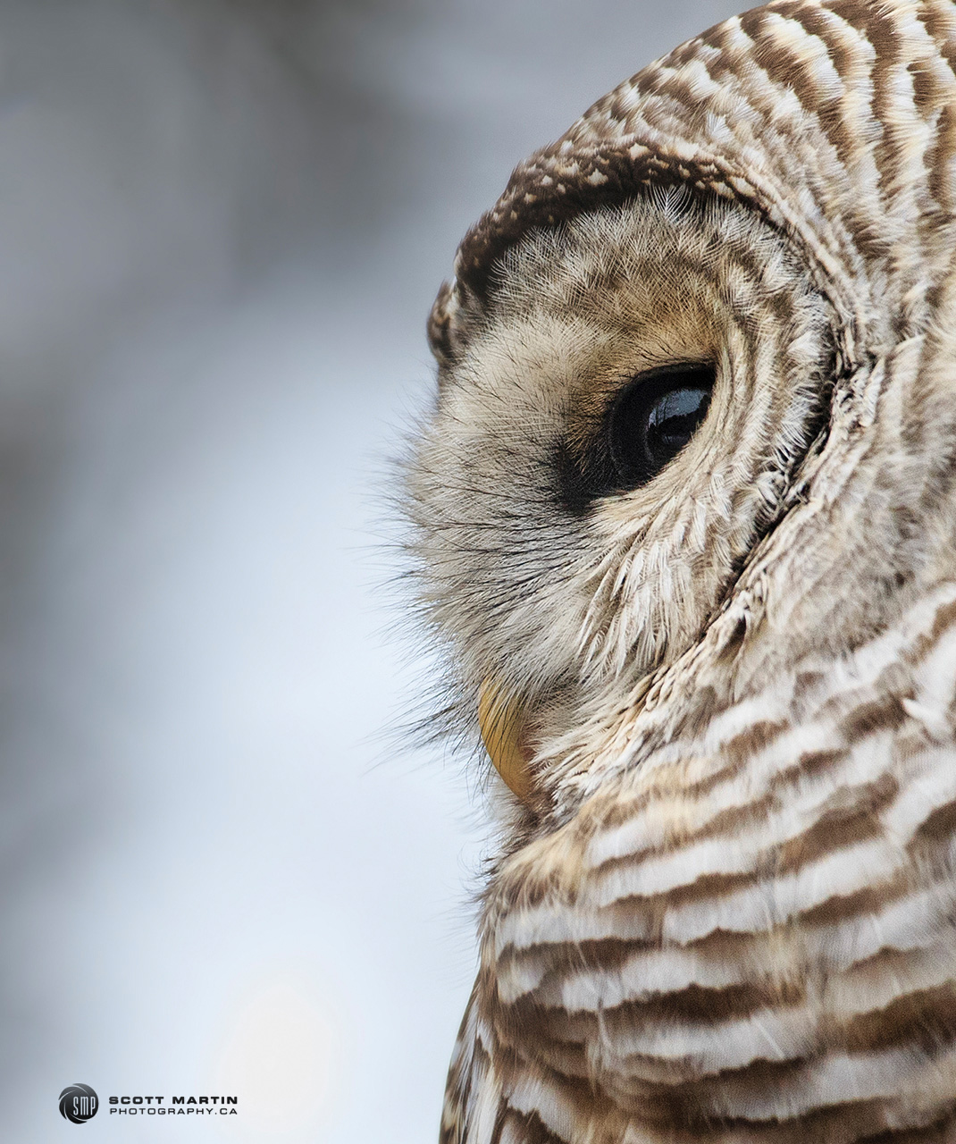 Barred Owl 25