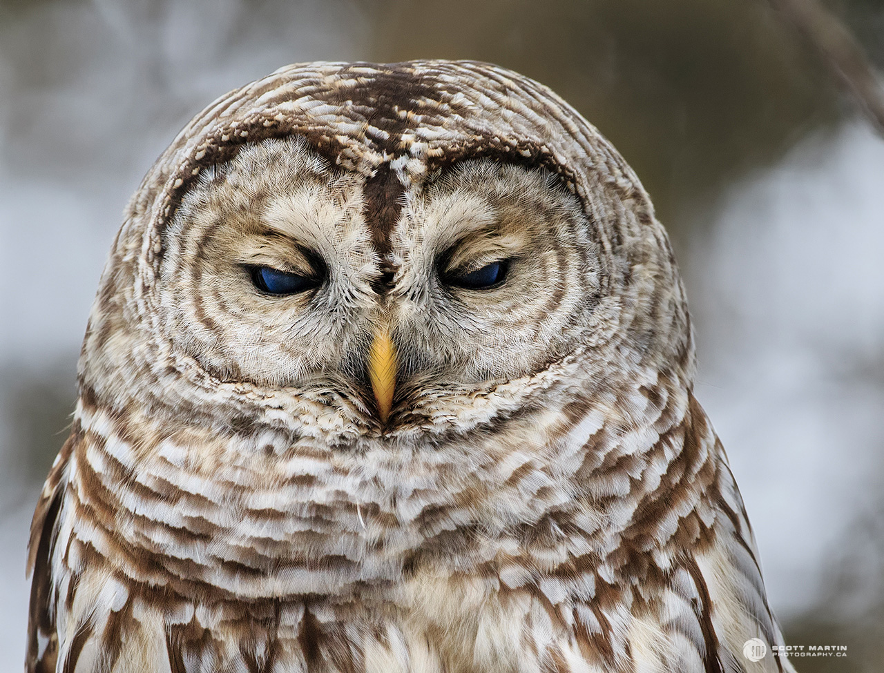 Barred Owl 32