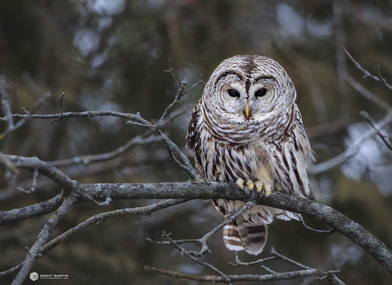 Barred Owl 29