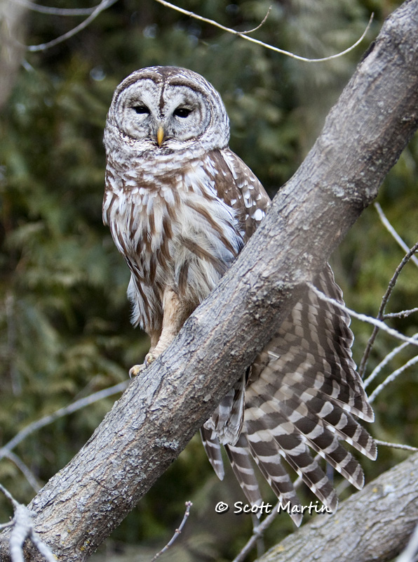 Barred Owl-17