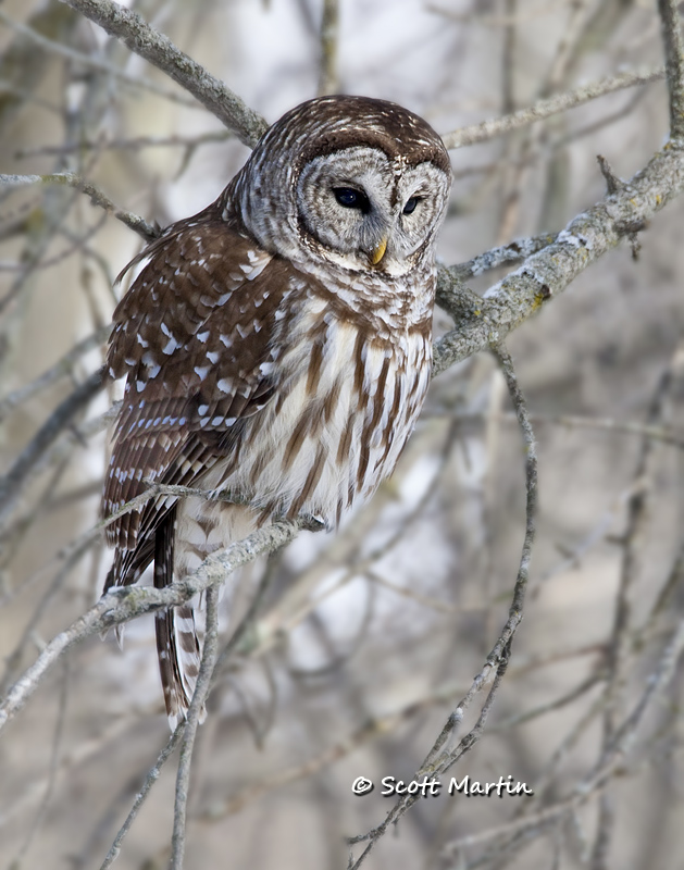 Barred Owl-13