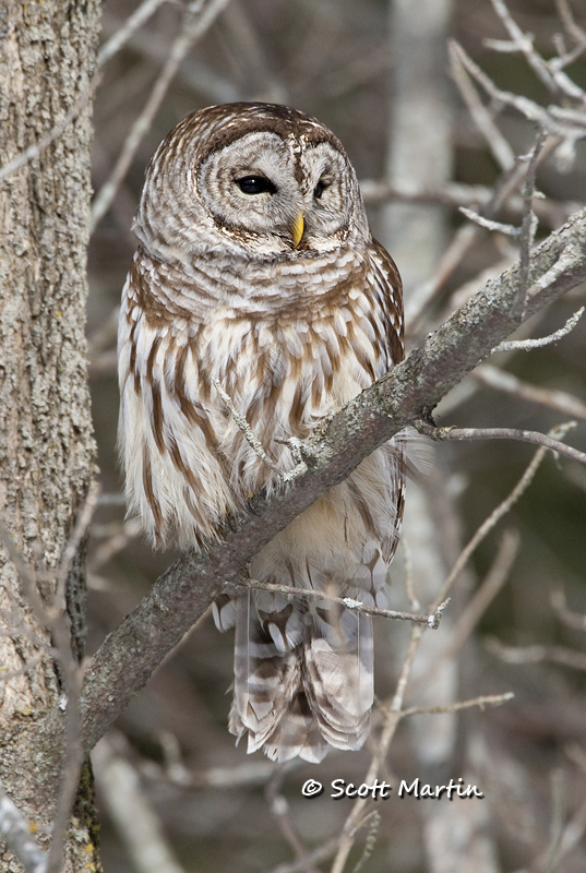 Barred Owl-14