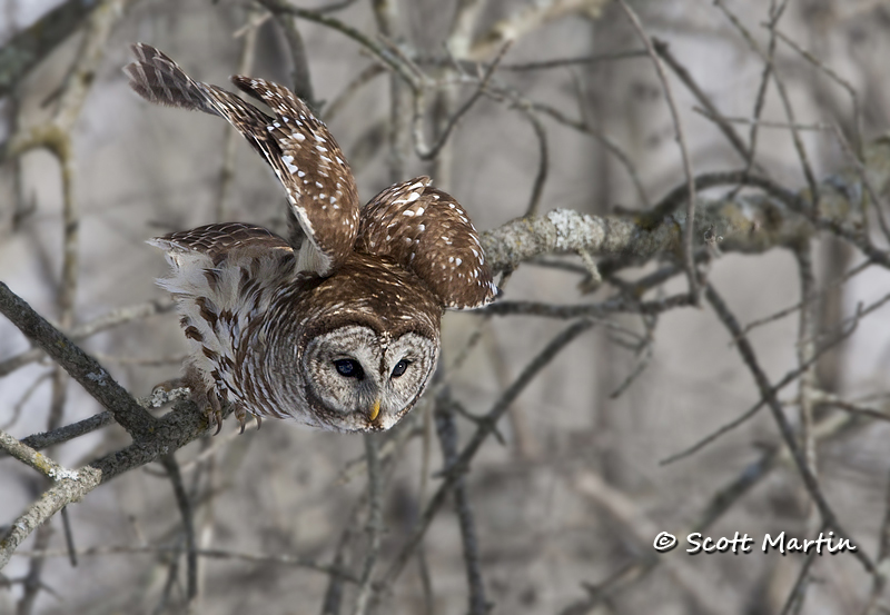 Barred Owl-15