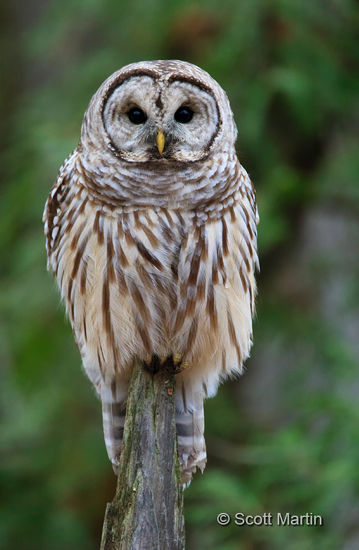 Barred Owl-18