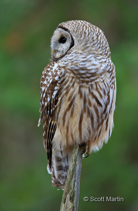 Barred Owl-19