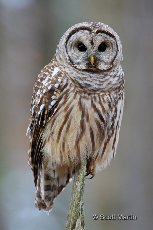 Barred Owl-20