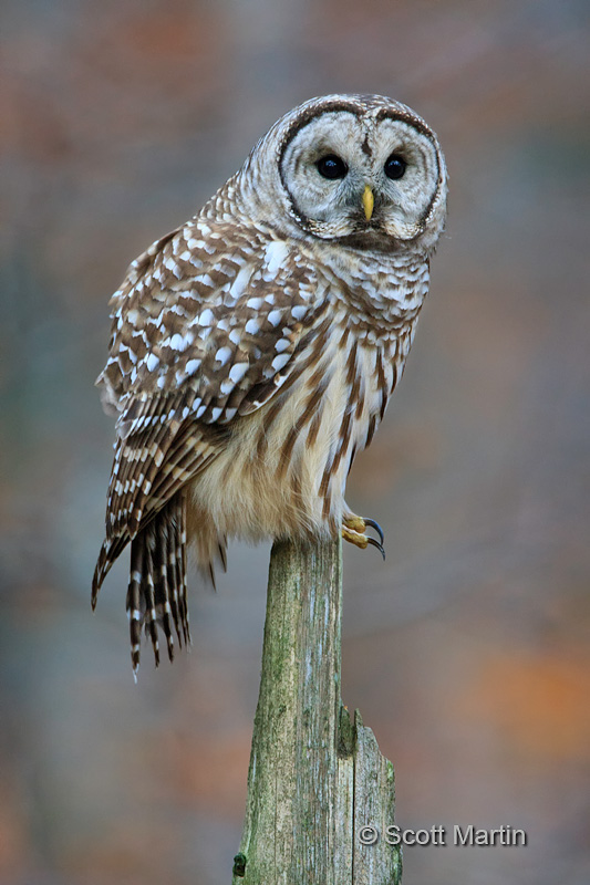 Barred Owl-21