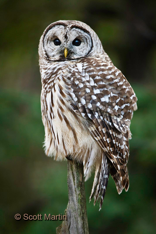 Barred Owl-22