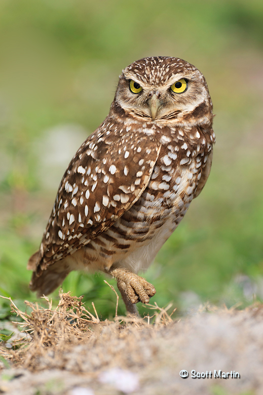 Burrowing Owl 01