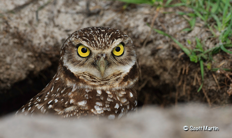 Burrowing Owl 02