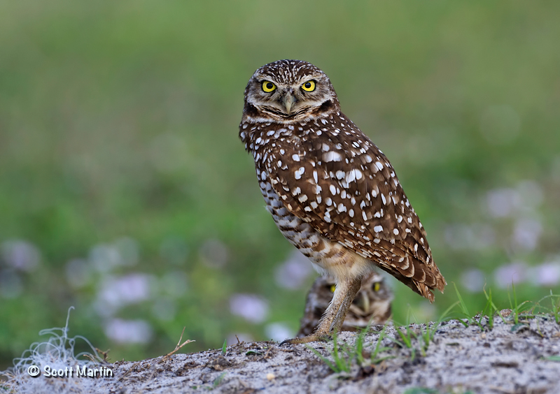 Burrowing Owl 04