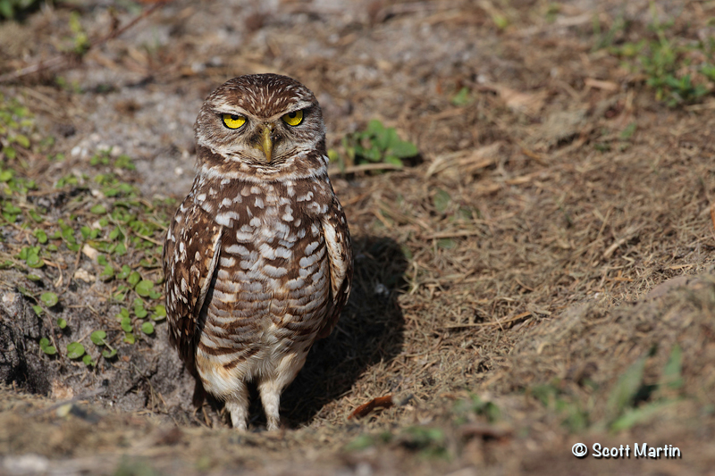 Burrowing Owl 06