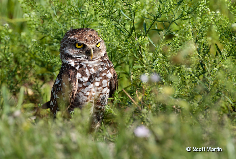 Burrowing Owl 07