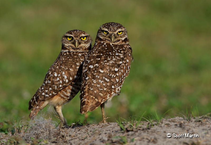 Burrowing Owl 08
