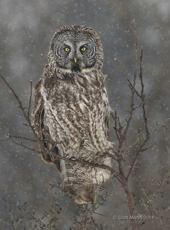 Great Gray Owl 15