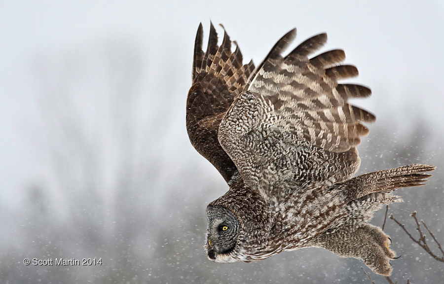 Great Gray Owl 17