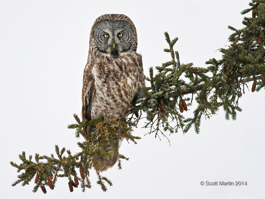 Great Gray Owl 18