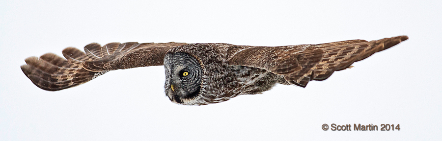 Great Gray Owl 21