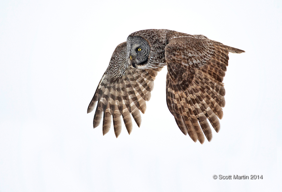 Great Gray Owl 22