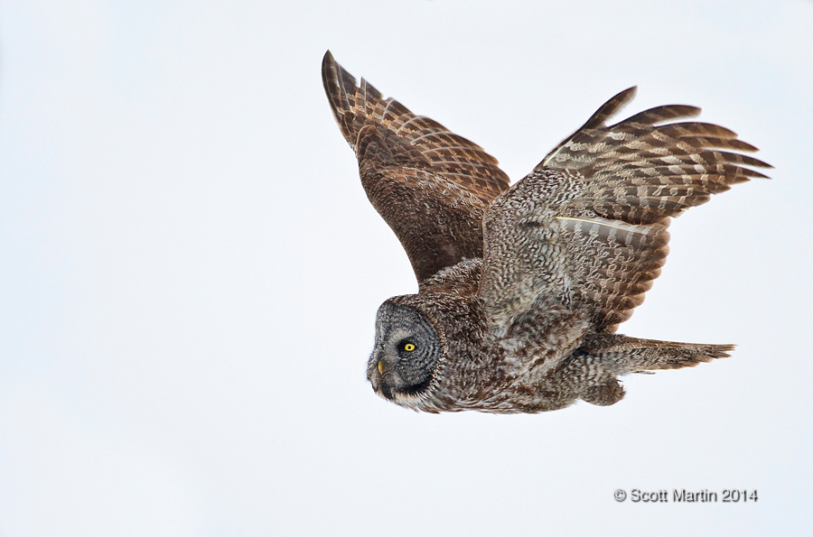 Great Gray Owl 23