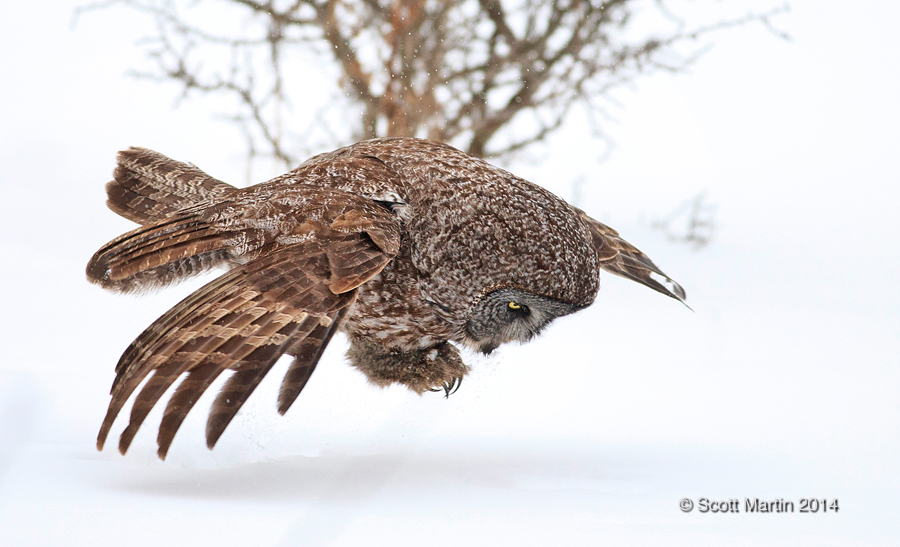 Great Gray Owl 30