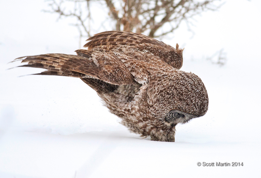 Great Gray Owl 31