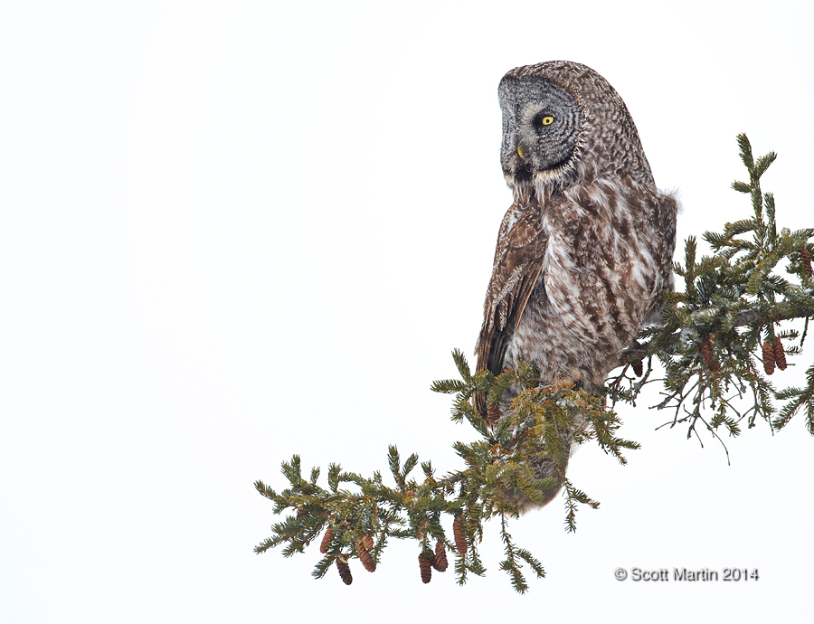 Great Gray Owl 19