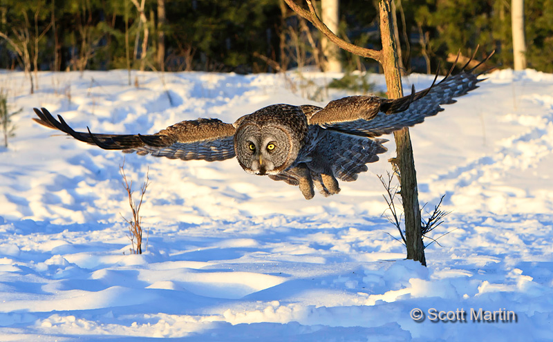 Great Gray Owl 08