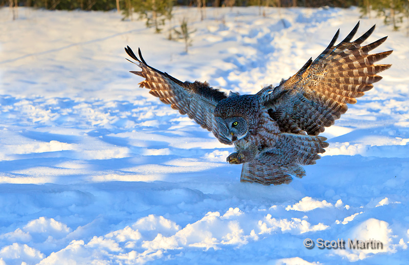 Great Gray Owl 12