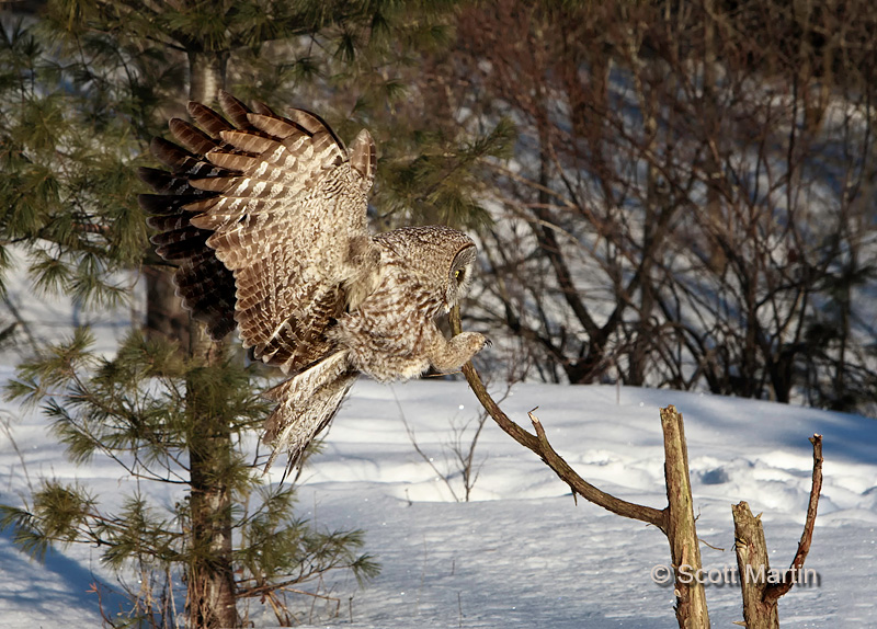 Great Gray Owl 09