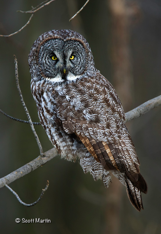 Great Gray Owl-01