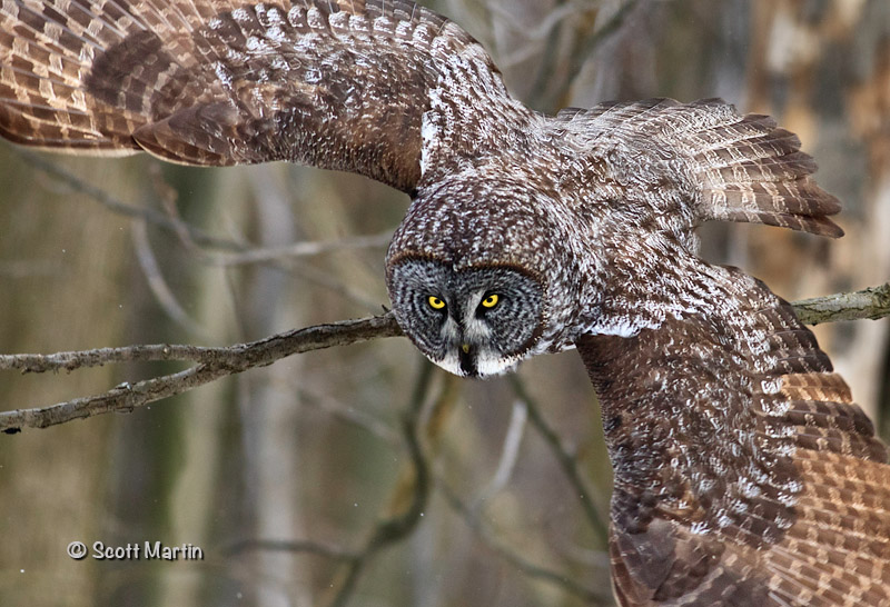 Great Gray Owl-02