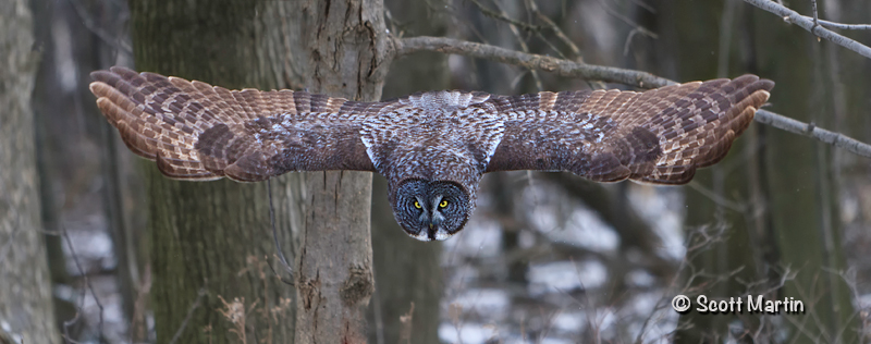 Great Gray Owl-03