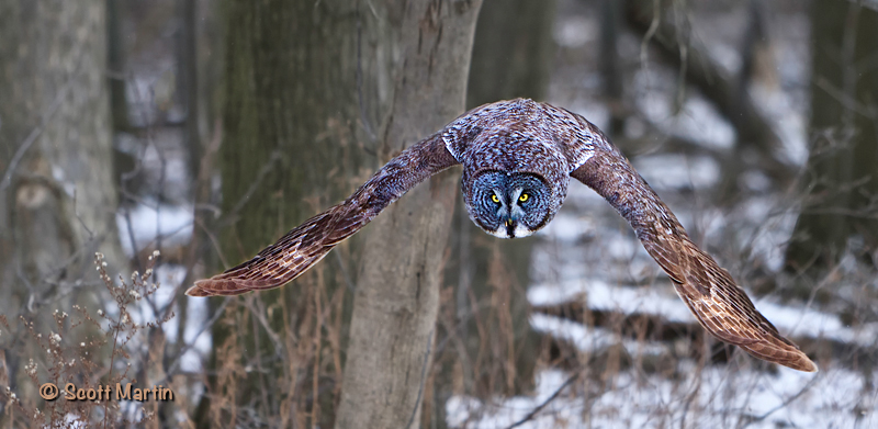 Great Gray Owl-04