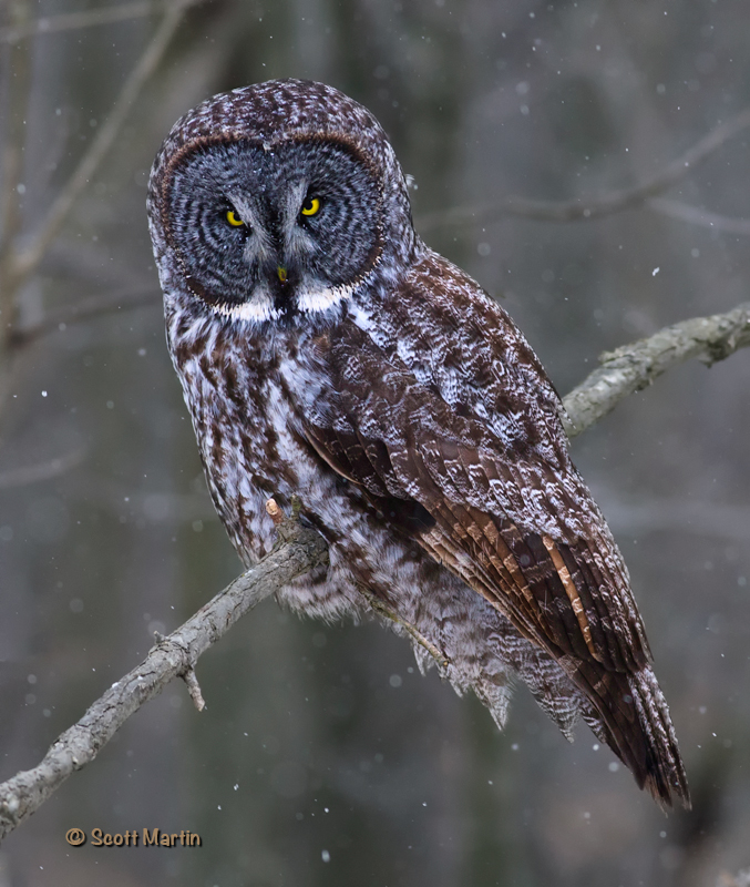 Great Gray Owl-06