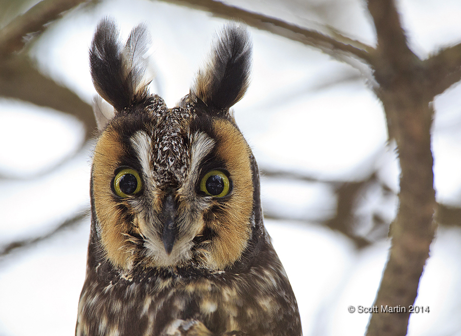 Long Eared Owl 09