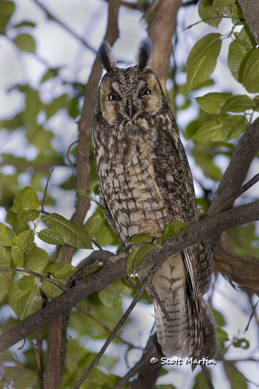 Long Eared Owl 03