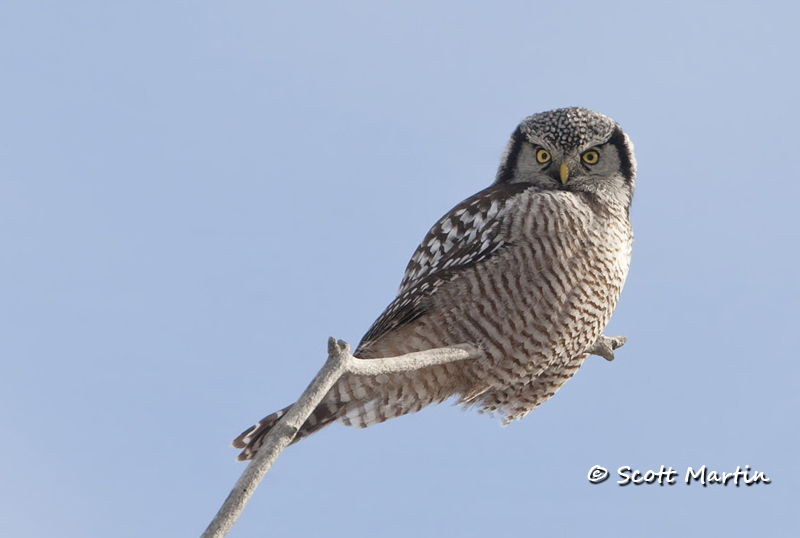 Northern Hawk Owl-01