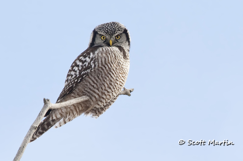 Northern Hawk Owl-02