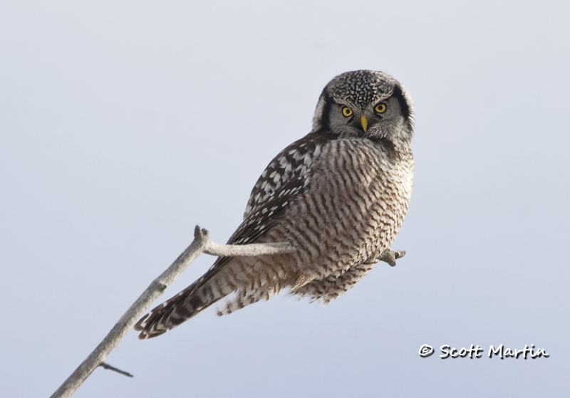 Northern Hawk Owl-03