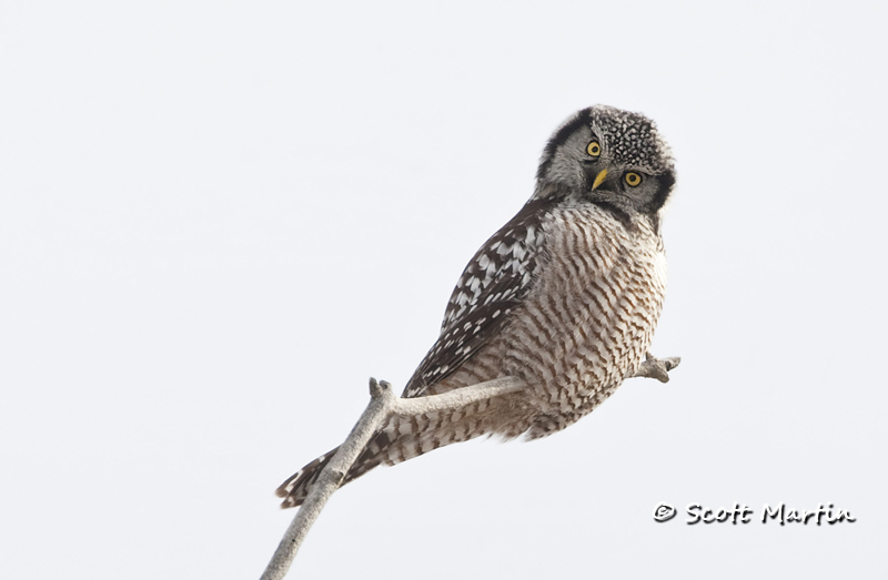 Northern Hawk Owl-04