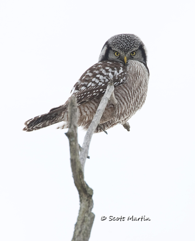 Northern Hawk Owl-05