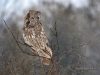 Great Gray Owl 14