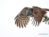 Great Gray Owl 20